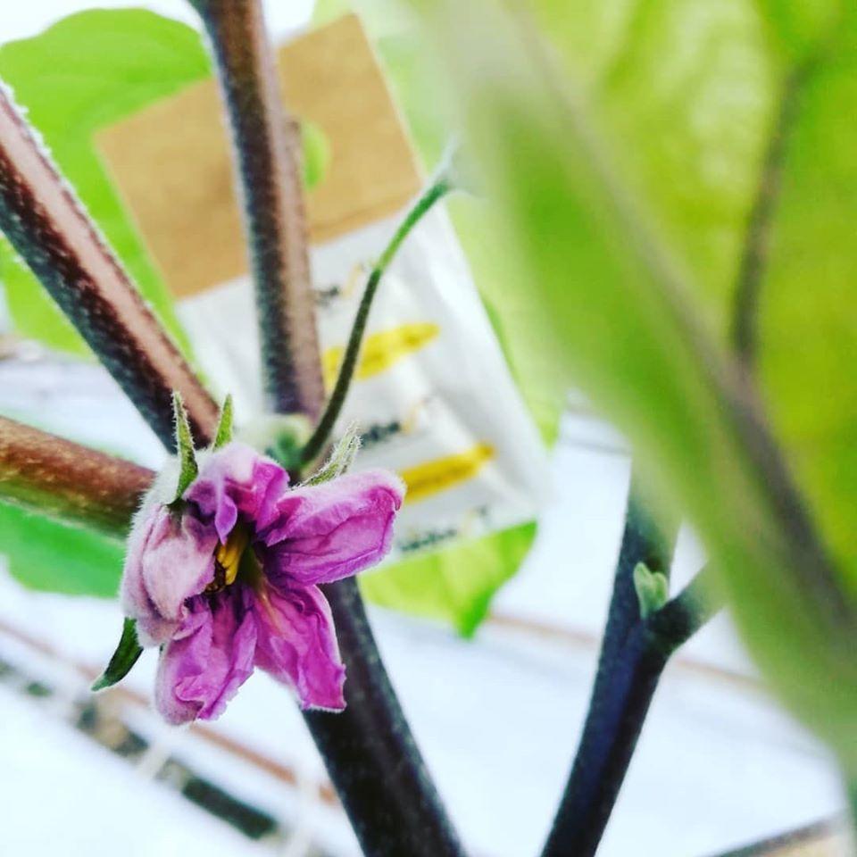 fiorituramelanzane