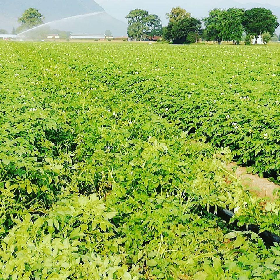 irrigazionepatate